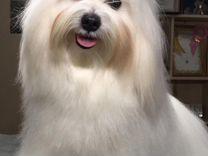Мальтезе-чемпион ищет подружку для вязки — Собаки в Геленджике