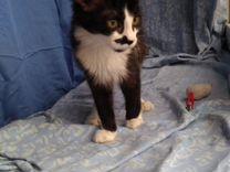 Пятимесячный котёнок Харти